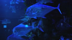 Blue fish move by the coral reef in Singapore Aquarium, Singapore. Stock Footage