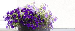 Purple petunias at the height of their glory in springtime. - stock photo