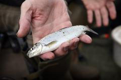 A small Dace fish, a caught fish held in an angler's hand. Stock Photos