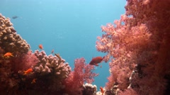 Thickets of soft corals dendronepthya. Stock Footage