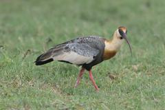 Buff-necked ibis (Theristicus caudatus), Mato Grosso do Sul, Brazil, South - stock photo