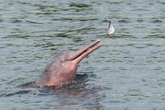 Hunting Amazon River dolphin (pink Amazon dolphin) (Inia geoffrensis), Rio Kuvituskuvat