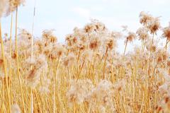 dried reeds, grass - stock photo