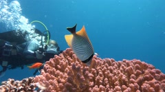 Underwater videographer, filming colorful and very active butterfly fish . Stock Footage
