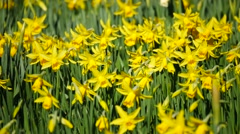 Stock Video Footage of Lovely yellow daffodil flowers blooming in the spring