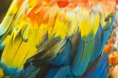 Macro of colored parrot ara wing Stock Photos