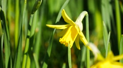 Lovely yellow daffodil flowers blooming in the spring - stock footage