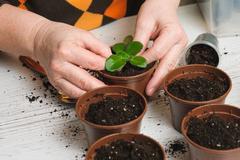 Woman plants a houseplant Stock Photos