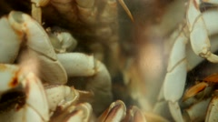 Crabs crammed together about to be eaten. Crabs inside aquarium. Stock Footage