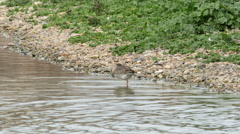 Common Redshank (Tringa totanus) preening Stock Footage