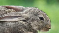 Rabbit. Beautiful animal of wild nature - stock footage