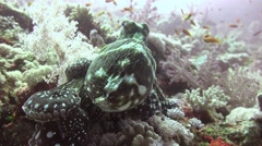The octopus quickly changes color, shape and body structure. - stock footage