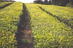 Portugal Azores Islands Sao Miguel tea plantation - stock photo