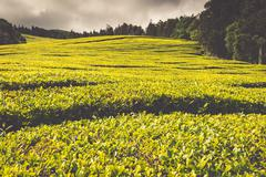 Portugal Azores Islands Sao Miguel tea plantation Stock Photos