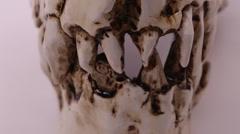 Macro shot of Dinosaur Skull cast - Carnivorous T-Rex Stock Footage