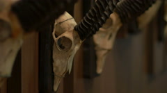 Hunted Chamois Skulls on Wall Stock Footage