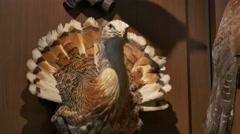 Bustard Bird Hunted on Wall - stock footage