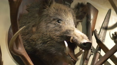 Hunted Wild Boar on Wall Stock Footage