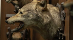 Large Wolf Hunting Trophy Stock Footage