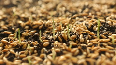 Wheat Green Sprouts, a Raw Food Diet, Growing - stock footage