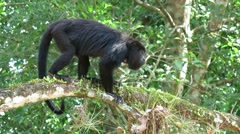 Howler Monkey on the branch Stock Footage