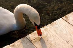 Swan with beak on deck in water Stock Photos