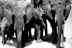 Elephant family black and white in Madikwe Game Reserve South Africa - stock photo