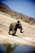 Elephant near watering hole in Madikwe Game Reserve South Africa - stock photo