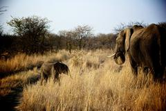 Baby Elephant and Mother Elephant in Madikwe Game Reserve South Africa - stock photo