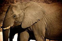 Elephant close-up in Madikwe Game Reserve South Africa - stock photo