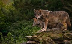 Wolves standing on a rock - stock photo