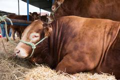 French Limousin bulls - stock photo