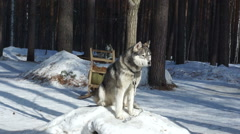 Huski dog sitting on the snow and watching around Stock Footage