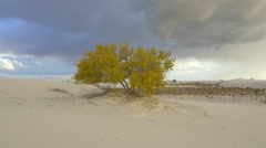 Solitary tree swaying in the wind in white sandy desert - stock footage