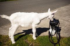 Newborn Animal Albino Goat Explores Camera Long Zoom Lens Stock Photos