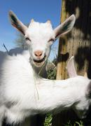 Newborn Animal Albino Goat Explores Foraging Eating Grass Flowers Stock Photos