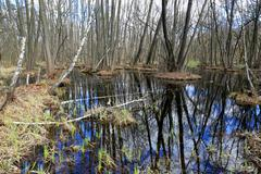 Swamp in spring forest - stock photo