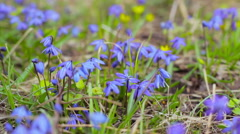 Blue snowdrops in spring forest Stock Footage
