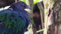 Nicobar Pigeon (Caloenas Nicobarica) Stock Footage