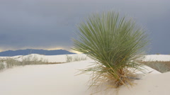 Soaptree swaying in wind before the storm in sandy desert Stock Footage