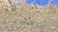 Little wagtail looking for bugs. Stock Footage