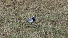 Little wagtail looking for bugs. - stock footage