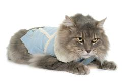 Dressed maine coon cat Stock Photos