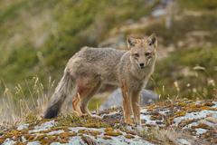 Andean Fox on a Coastal Beach Stock Photos
