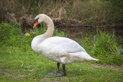 White swan standing on grass - stock photo