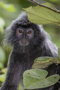 Adult silvery langur (Trachypithecus cristatus) (silvered leaf monkey), Bako - stock photo