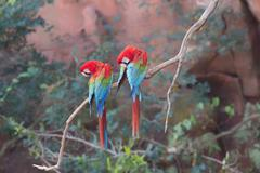 Red-and-green macaws (Ara chloropterus) perched on a branch in Buraco das Stock Photos