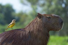 Capybara (Hydrochaeris hydrochaeris) and white-throated kingbird (Tyrannus - stock photo