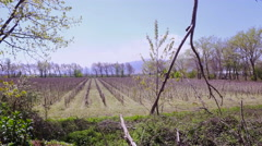 Spring Vineyard with small green wine plants Stock Footage