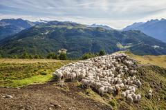 A flock of sheep in the pastures of Mount Padrio, Orobie Alps, Valtellina, Stock Photos